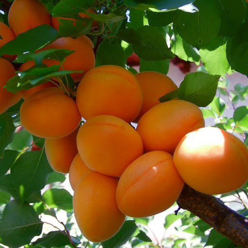 Саджанці абрикосу Nasa (середньоранній сорт)