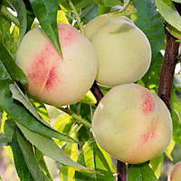 Саджанці персика Білий Лебідь (середньопізній сорт)