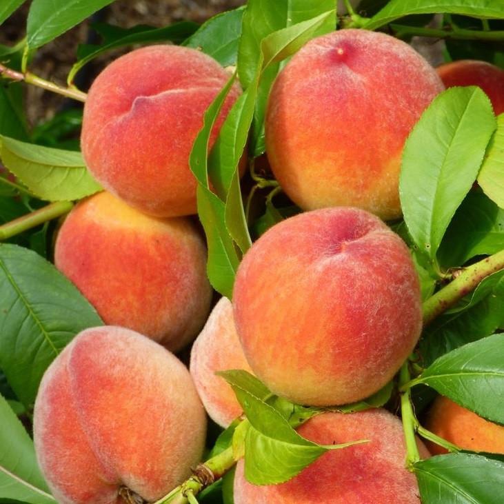Саджанці персика Ред Хевен (середньоспілий сорт)