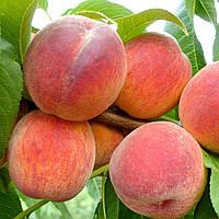 Саджанці персика Коллінз (середньоранній сорт)