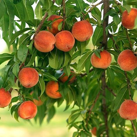Саджанці персика Вулкан Т-1 (середньоспілий сорт)