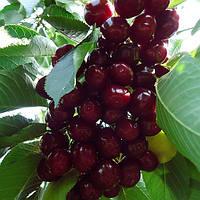 Саджанці черешні Мелітопольська (середньоспілий сорт), фото 1