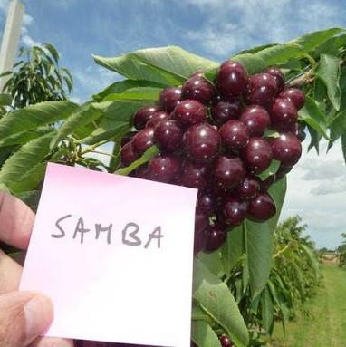 """Саджанці черешні """"Samba"""" (середньопілий сорт)"""