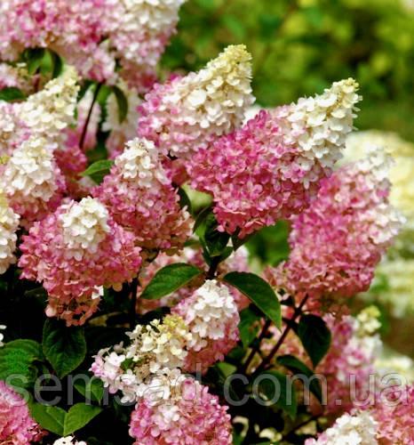 "Гортензия метельчатая"" Сандей фрейзи \  Hydrangea paniculata «Sundae Fraise»( саженцы 1 год)"