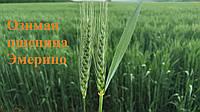 Эмерино сорт озимой пшеницы RWA