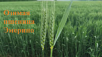 Эмерино сорт озимої пшениці RWA