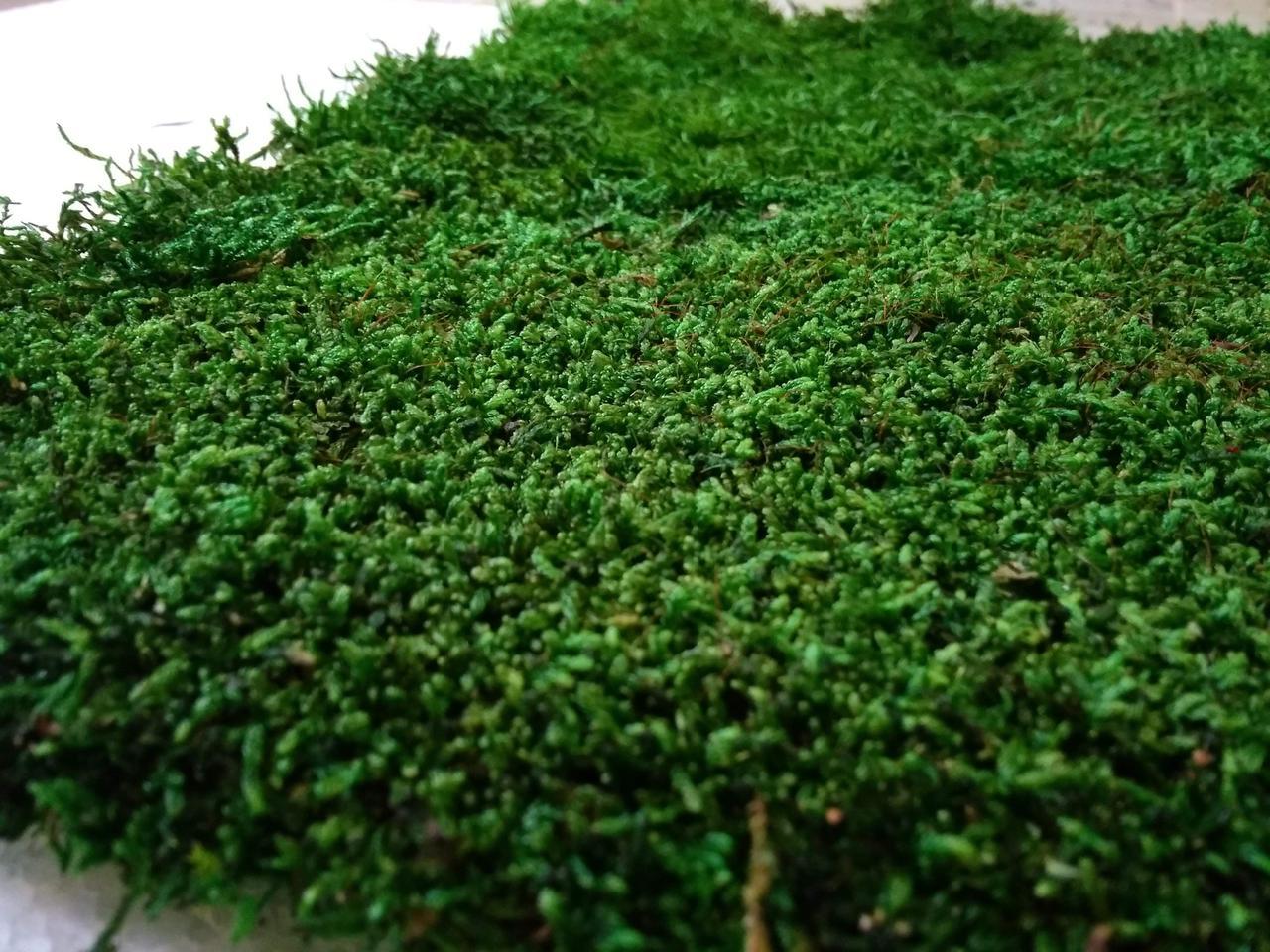 Плоский мох зеленый