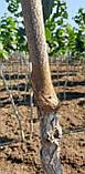 Фундук TONDA DI GIFFONI привитый на медвежий орех, фото 7