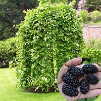 Саджанці шовковиці чорної плакучої на штамбі Пендула (штамб Н1,5-2,0 м), фото 1