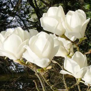 Саджанці білої Магнолії Суланжа Альба (Magnolia soulangeana Alba Superba)