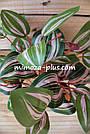 Искусственные растения - Калатея куст, 35 см, фото 4