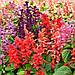 "Сальвія блискуча ""РОЖЕВА"" ('Salvia splendens') / Саджанці в горщику 20-30 см, фото 5"