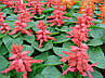 "Сальвія блискуча ""РОЖЕВА"" ('Salvia splendens') / Саджанці в горщику 20-30 см, фото 9"