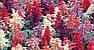 "Сальвія блискуча ""РОЖЕВА"" ('Salvia splendens') / Саджанці в горщику 20-30 см, фото 8"