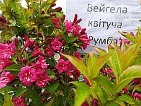 Вейгела Цветущая 'Румба' | Вейгела квітуча 'Румба' (ЗКС; горшок 5 л)