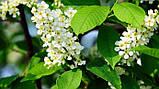 Черемуха цветы 50 грамм, фото 2
