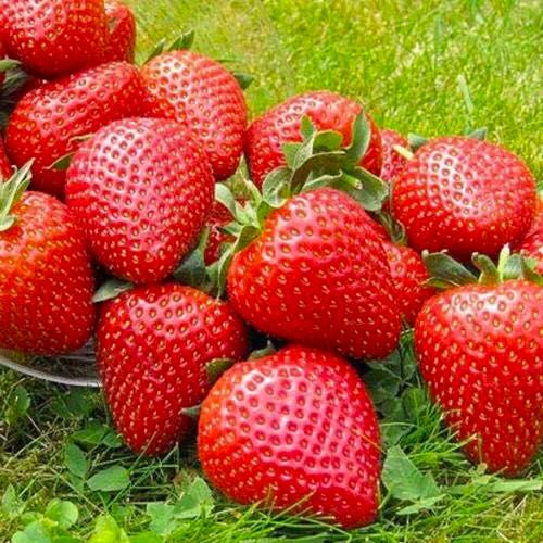Саженцы клубники (рассада) Вайбрант (Vibrant) - очень ранняя, высокоурожайная, транспортабельная