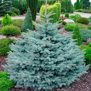 Саженцы Ели колючей Глаука (Picea pungens Glauca)