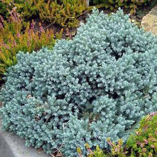 Саженцы Можжевельника китайского Блю Альпс (Juniperus chinensis Blue Alps)