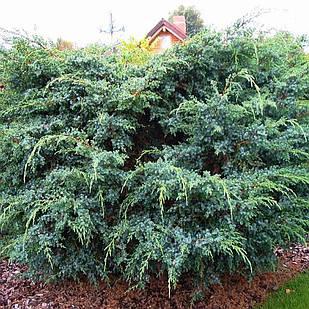 Саженцы Можжевельника чешуйчатого Мейери(Juniperus squamata Meyeri)