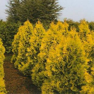 Саженцы Туи западной Европа Голд (Thuja occidentalis Europe Gold)