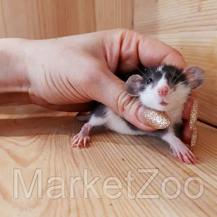 Крыска дамбо,мальчик,возраст 1мес., фото 2