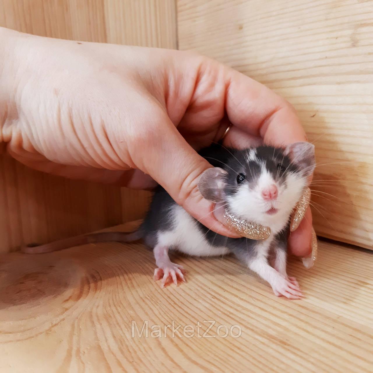 Крыска дамбо,мальчик,возраст 1мес.