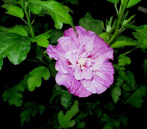 Гибискус кустарниковый сирийский розо-фиолетовый Арденс махровый. Саженцы в контейнерах.