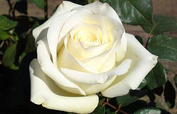 Роза Анастасия саженец.