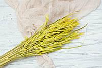 Сухоцвіт овес жовтий
