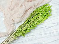 Сухоцвіт овес салатовий
