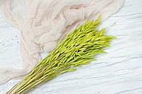 Сухоцвіт овес яскраво-салатовий