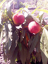 Персик краснолистный Бургунди (привитая  на корень саженцы 110-см), фото 2