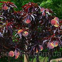 Персик краснолистный Бургунди (привитая  на корень саженцы 110-см), фото 3