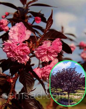 Сакура Рояль Бургунди \ Prunus 'Royal Burgundy'  (привитая  на корень саженцы 110-см) ОКС, фото 2