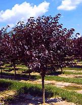 Сакура Рояль Бургунди \ Prunus 'Royal Burgundy'  (привитая  на корень саженцы 110-см) ОКС, фото 3