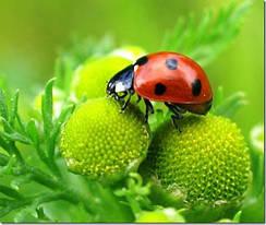 Божьи коровки и насекомые в вашем саду