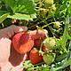 Клубника ранняя Румба. Сладкая, урожайная. Свежекопанная рассада клубники, фото 3