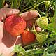 Клубника ранняя Румба. Сладкая, урожайная. Свежекопанная рассада клубники, фото 2