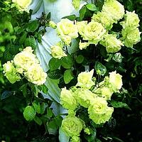 Плетистая Зеленая роза