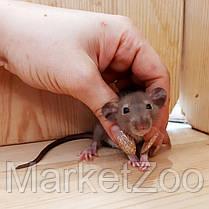 """Крыска дамбо,окрас """"Шоколад"""",мальчики и девочки,возраст 2,5мес, фото 3"""