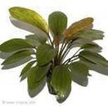 """Растение в аквариум """"Эхинодорус Розе"""", фото 2"""