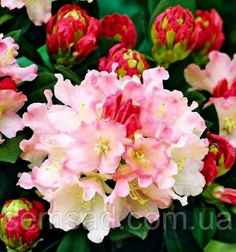 """Рододендрон """" Дримленд """" \ Rhododendron Dreamland  ( саженцы 2 года ЗКС )"""
