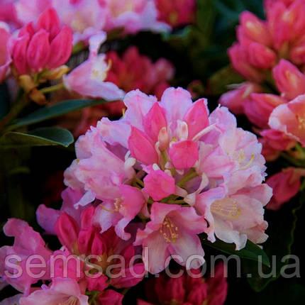 "Рододендрон "" Дримленд "" \ Rhododendron Dreamland  ( саженцы 2 года ЗКС ), фото 2"