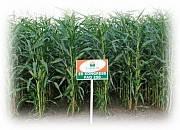Семена кукурузы Евралис ЕС Конгресс Фао 250