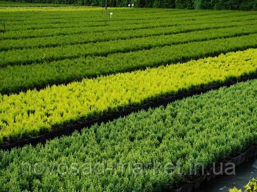 Использование удобрений Осмокот и Петерс в питомниках декоративных растений