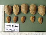 Саженцы миндаля сорт Marinada, фото 2