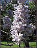 Проросшие семена -Павлония войлочная ( семена в упаковке 10 шт)