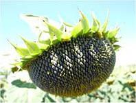 Семена подсолнуха Стронгер (STRONGER GS 35011), фото 1