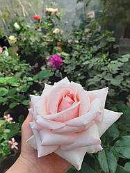 Саженцы розы Pink O'Hara
